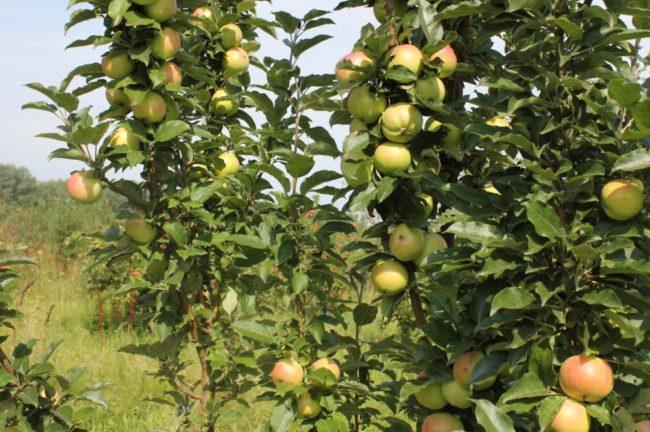 Ветки и плоды колоновидной яблони гибридного сорта Валюта