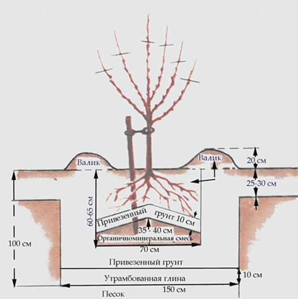 Схема расположения и наполнения ямы для посадки саженца яблони