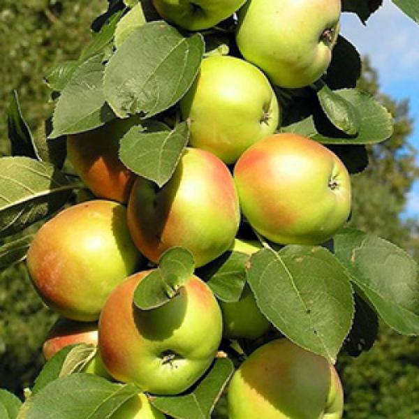 Красно-желтые плоды на колоновидной яблони сорта Янтарное Ожерелье