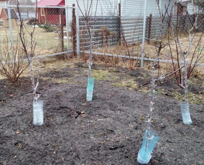 Защита колоновидных яблонь от грызунов с помощью пластиковых бутылок