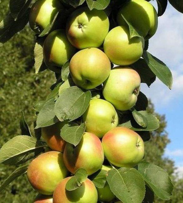 Ствол колоновидной яблони сорта Валюта с плодами желто-зеленого окраса