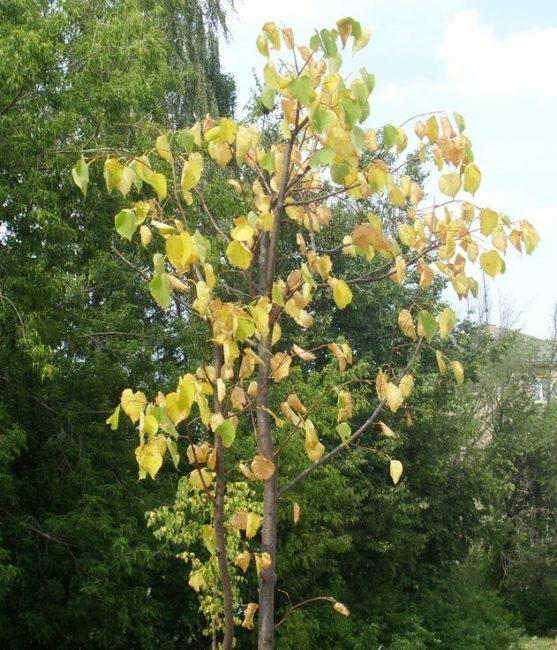 Пожелтение кроны молодого деревца яблони при недостаточном поливе