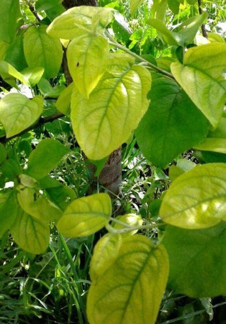 Желтеющие листья яблони с характерными признаками нехватки железа