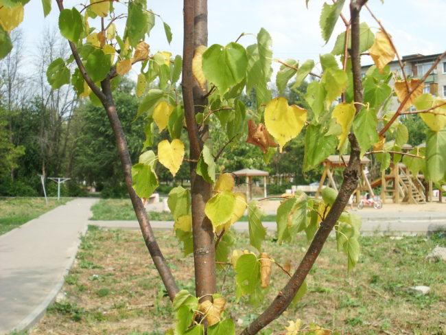 Желтые листья на молодой яблоне при нехватке азота в почве вокруг деревца