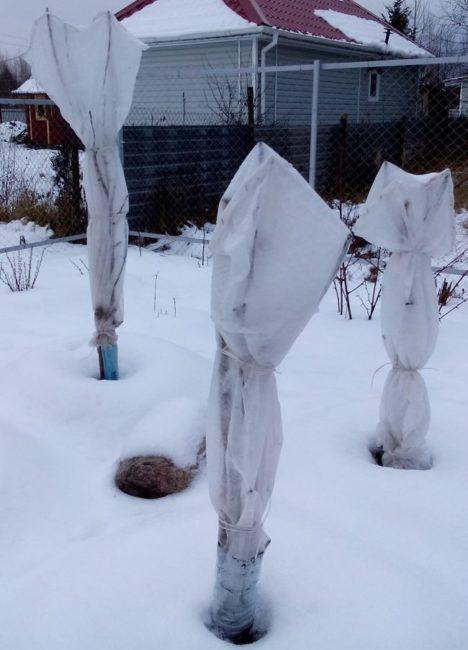 Зимнее укрытие колоновидных яблонь с помощью белого нетканого материала