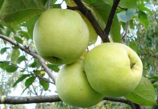Три зеленых яблока средней величины народного сорта Антоновка