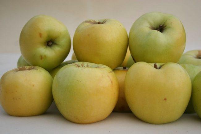 Светло-желтые плоды яблони популярного сорта Антоновка обыкновенная