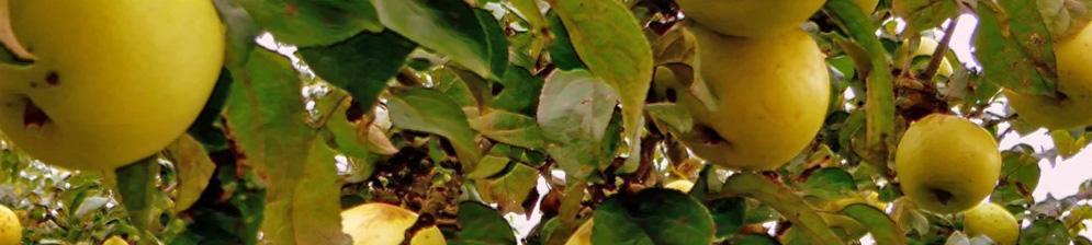Урожай Антоновки на ветке дерева созревающие плоды