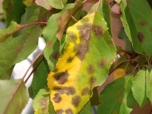 Листья яблони, пораженные аскохитозной пятнистостью