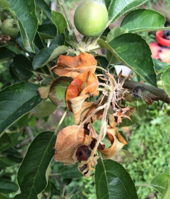 Сухие скрученные листья на ветке яблони при бактериозе