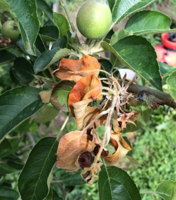 Засыхание листьев яблони в период плодоношения при бактериозе
