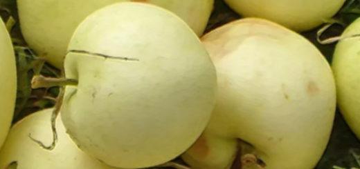 Спелые плоды яблони сорта Белый налив лежат в кучке