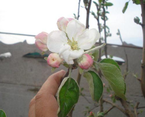 Крупные розово-белые цветки яблони народного сорта Белый налив