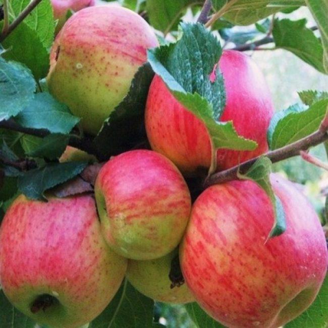 Размытый румянец на спелых плодах яблони сорта Бессемянка мичуринская