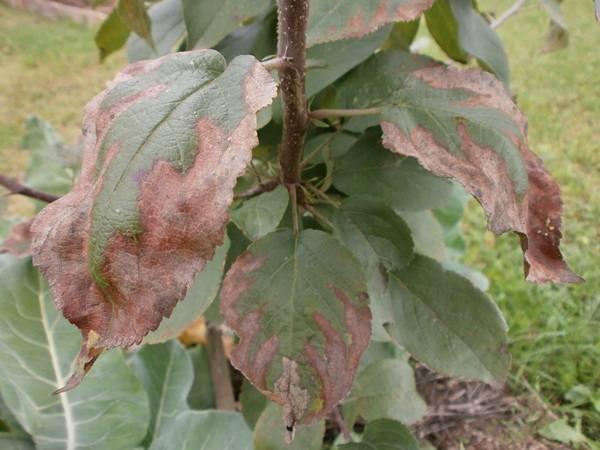 Признаки бурой пятнистости на пораженных листьях яблони