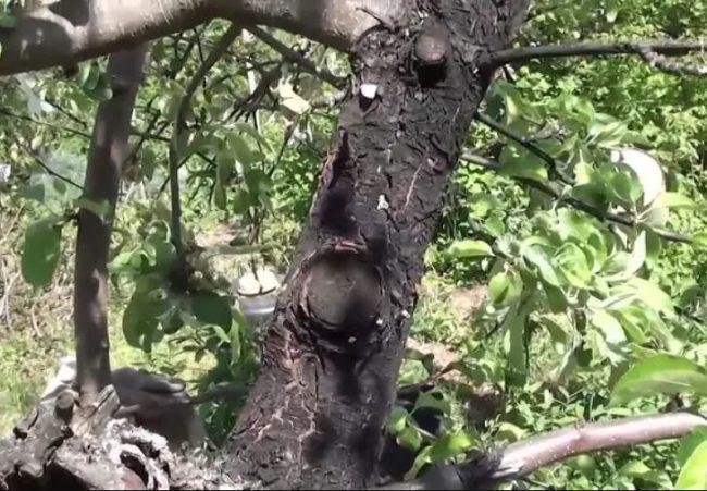 Ствол старого яблоневого дерева с признаками поражения черным раком