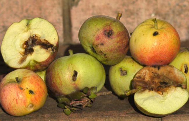 Червивые яблоки с типичными признаками поражения плодожоркой