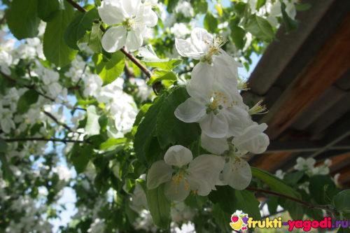 Очень насыщенный яблоневый цвет