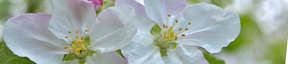 Первые два больших цветка яблони вблизи