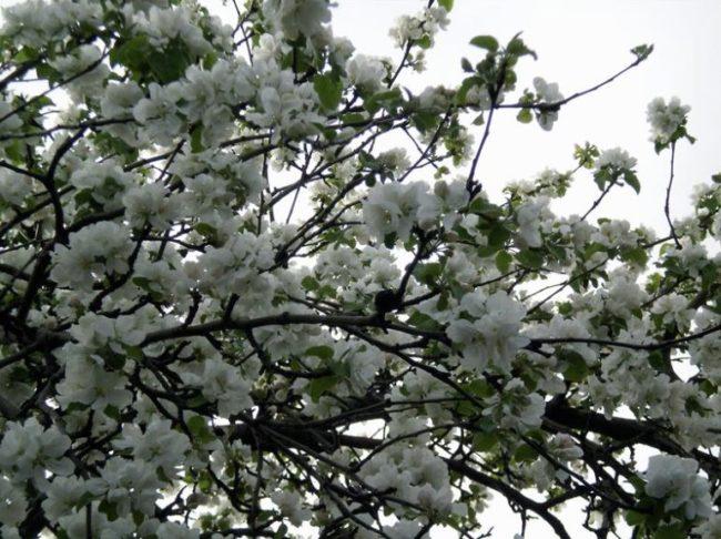 Усыпанные белыми цветками ветки яблони сорта Белый налив