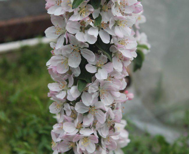 Множество розово-белых цветков на стволе колоновидной яблони