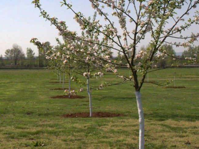 Первое цветение молодых яблонь в саду фермерского плодового хозяйства