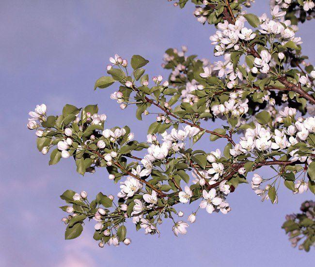 Ветки различной толщины с белыми цветками на взрослом дереве яблони