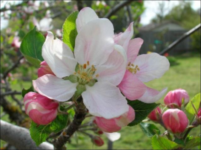 Крупный цветок яблони с плотно сомкнутыми лепестками бело-розового оттенка