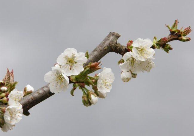 Цветущая ветка яблони с распускающимися листьями ранней весной