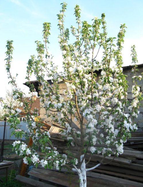Продолжительное цветение яблоневого дерева высотой около трех метров