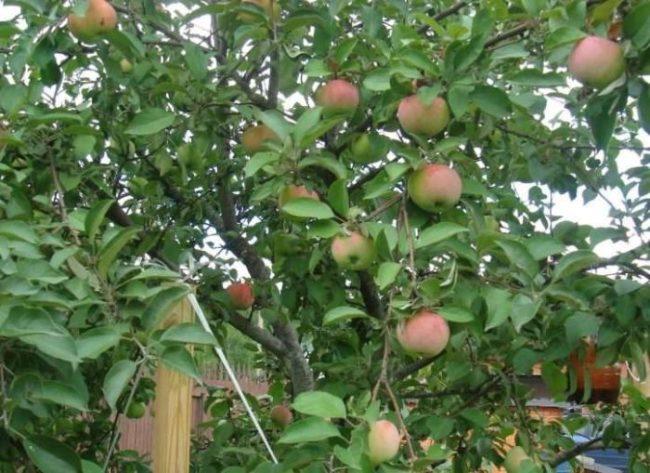 Яблоки с красным румянцем на ветках дерева сорта Грушовка Московская