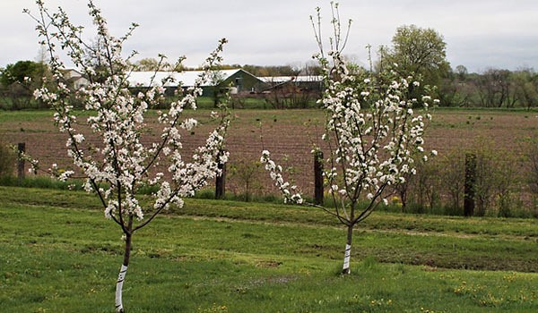Две небольшие плодовые яблони с белыми цветками в середине мая