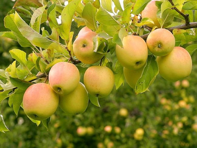 Ветка яблони сорта Голден делишес с плодами округло-конической формы