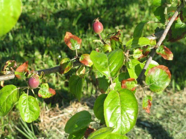 Поражение листьев яблони грибковой инфекцией при высоких грунтовых водах