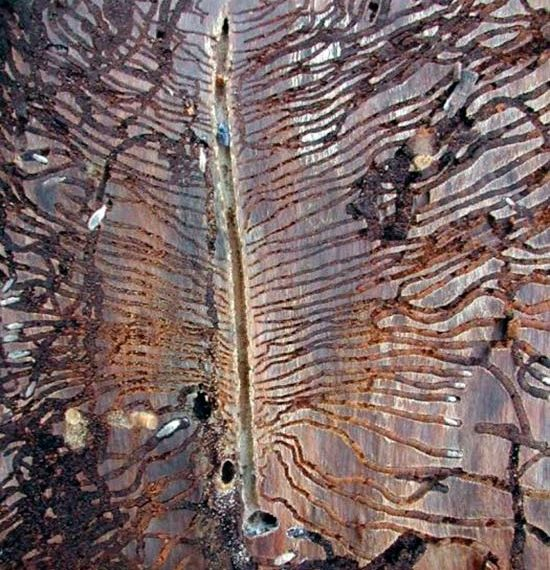 Значительное поражение яблоневого дерева жуком-короедом