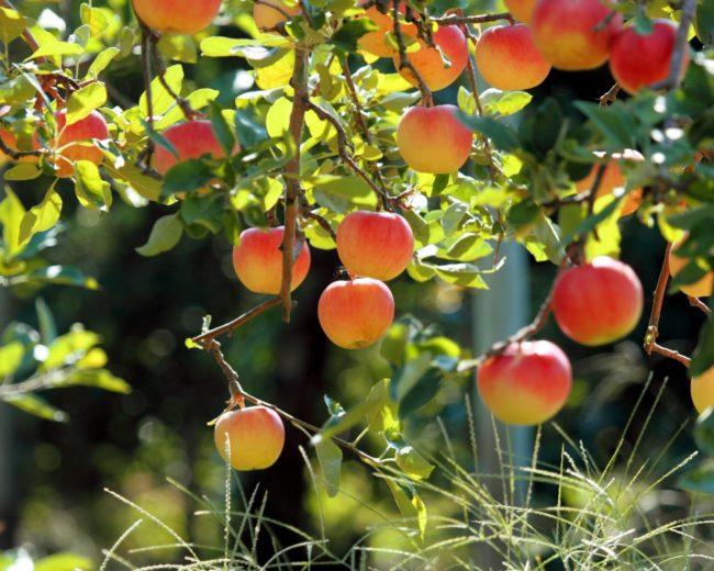 Спелые плоды яблок на ветках в жаркую погоду