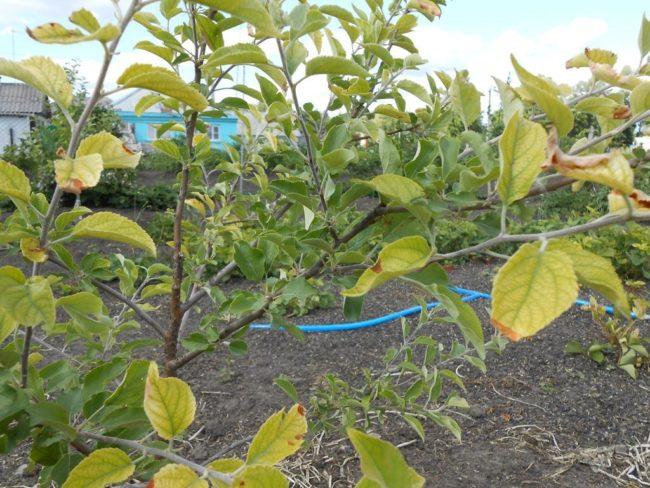 Желтеющие листья на молодом дереве яблони