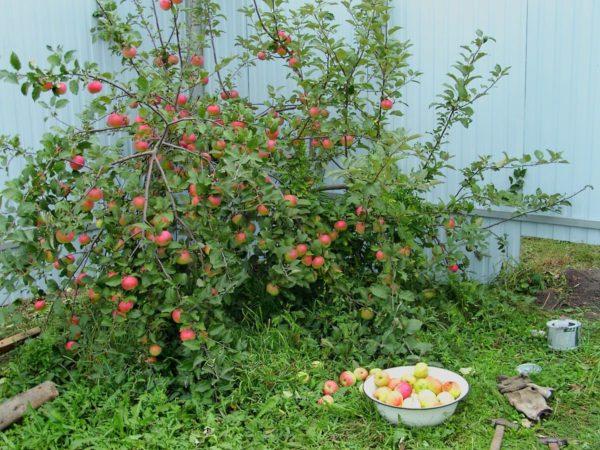 Небольшая яблоня карликового типа с красными плодами в углу дачного участка