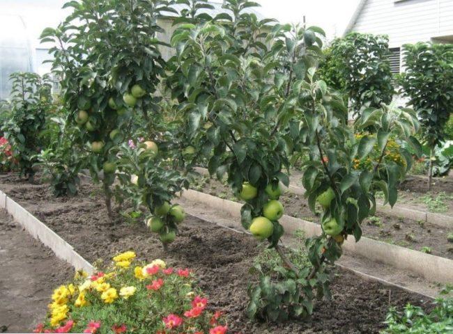 Выращивание яблонь на карликовом подвое в климатических условиях Ярославской области
