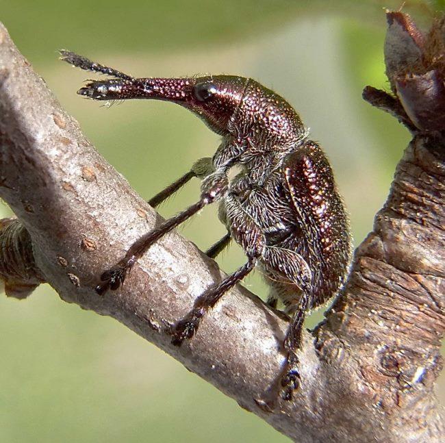 Взрослый жук казарки плодовой на ветке на около почки яблони