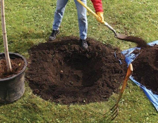 Копка посадочной ямы для саженца яблони с закрытой корневой системой