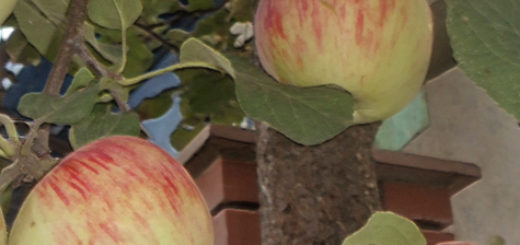 Созревающие плоды яблони Башкирский красавец