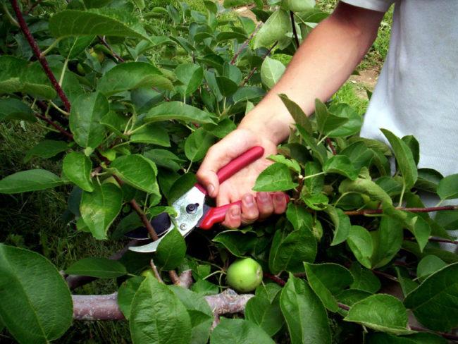 Летняя обрезка молодых веток яблони во второй половине июня