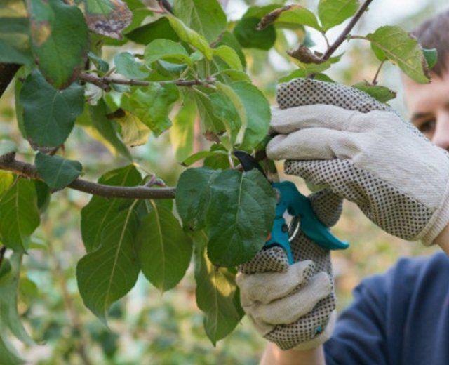 Нарезка одеревеневших черенков с веток взрослой яблони для летней прививки