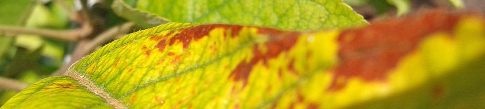 Пожелтевший лист яблони с коричневыми пятнами