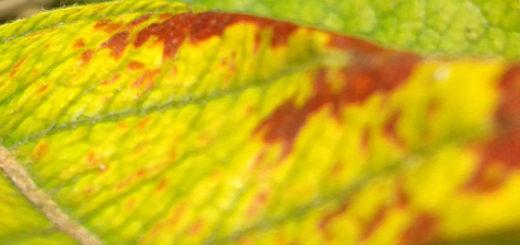 Лист яблони пожелтел вблизи симптомы хлороза