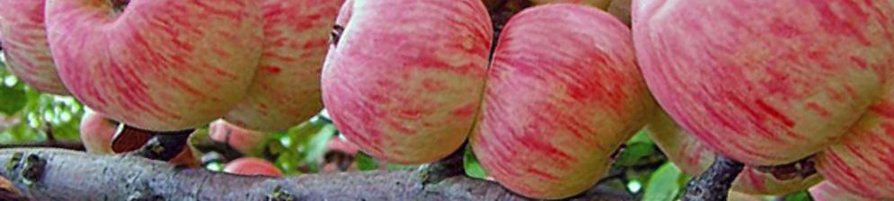 Поспевающие плоды яблони сорта Мельба на дереве