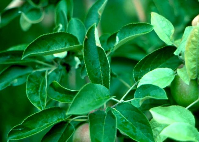 Млечный блеск на листьях яблони в середине летнего сезона