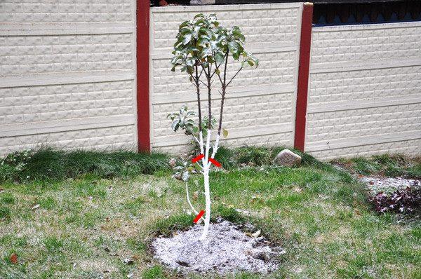 Молодая яблоня подготовленная к зиме с побеленным стволом