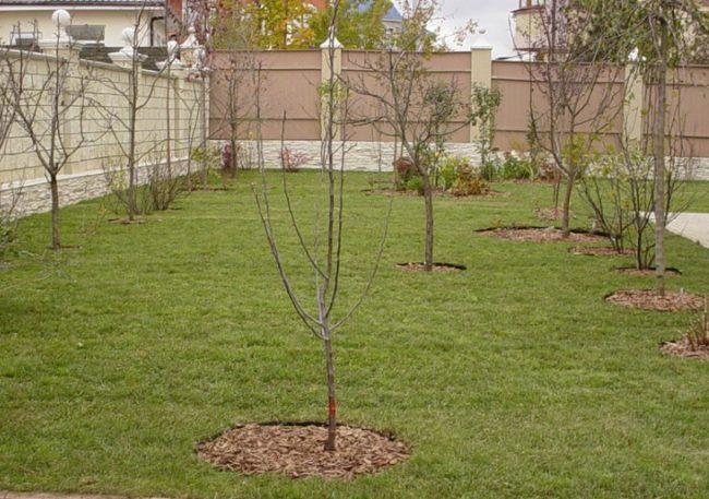 Молодой плодовый сад с яблонями трех и четырехлетнего возраста